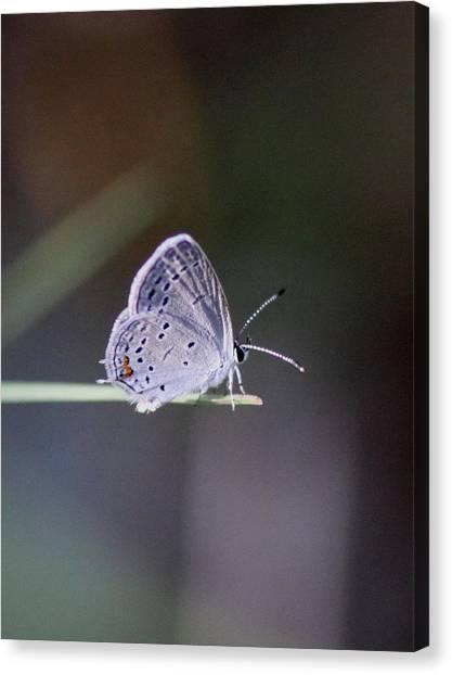 Little Teeny - Butterfly Canvas Print