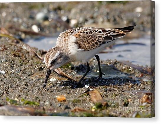 Little Western Sandpiper Canvas Print