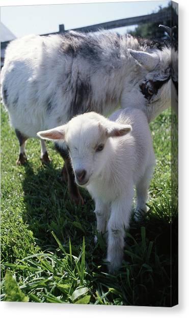 Little White Goat Canvas Print
