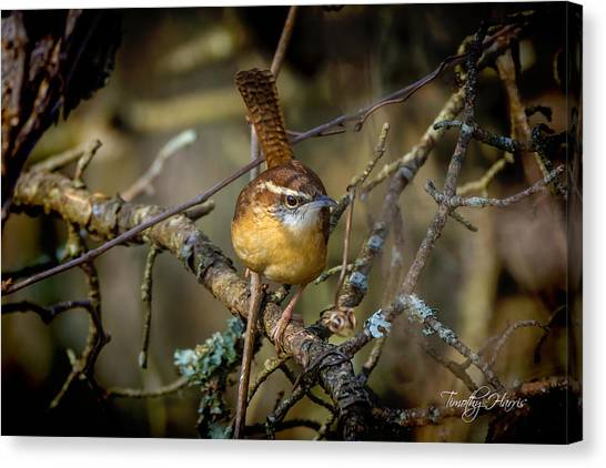 Little Wren 1 Canvas Print