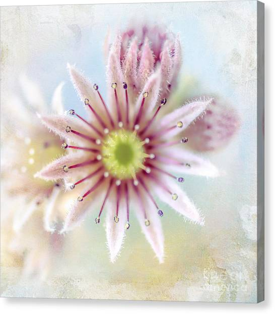 Canvas Print - Live Forever Succulent by Amanda Lakey