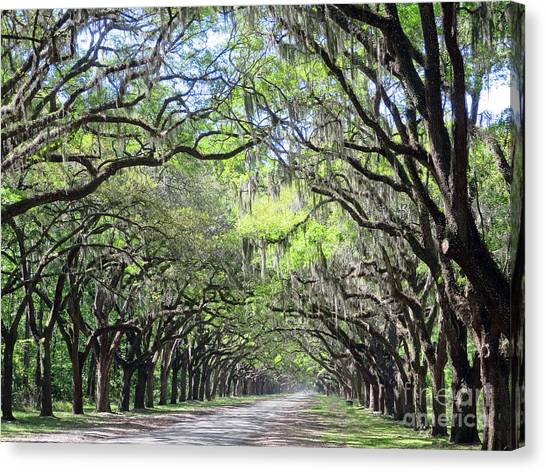 Live Oak Canopy Canvas Print