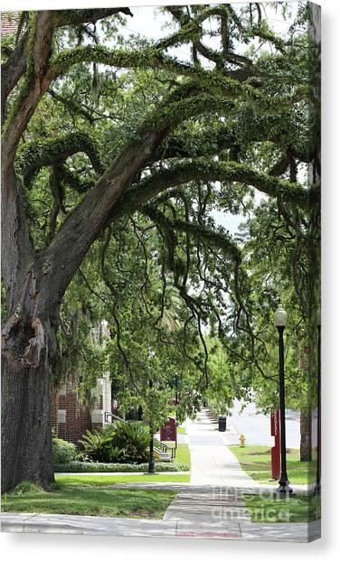 Florida State Fsu Canvas Print - Live Oak On Campus by Carol Groenen