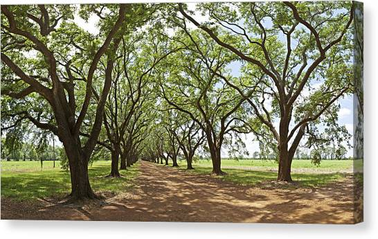 Live Oaks Country Road Canvas Print