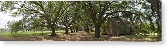 Live Oaks Panorama Canvas Print