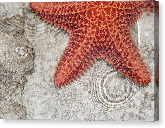 Carribbean Canvas Print - Live Starfish Natural Habitat by Betsy Knapp