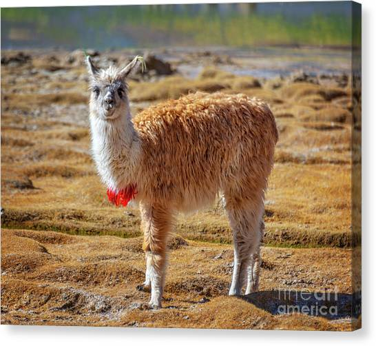 Andes Mountains Canvas Print - Llama In Bolivia by Delphimages Photo Creations