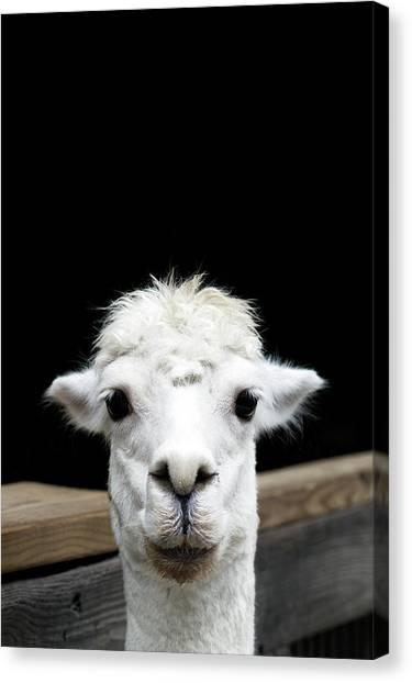 Llama Canvas Print - Llama by Lauren Mancke