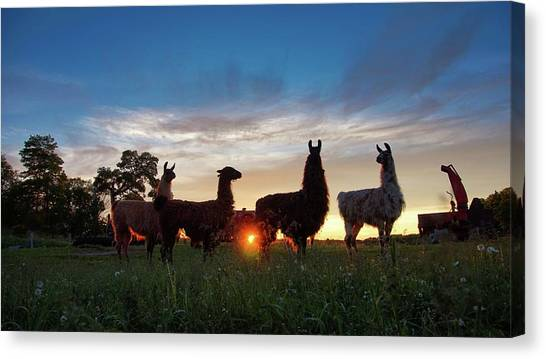 Llamas At Sunset Canvas Print