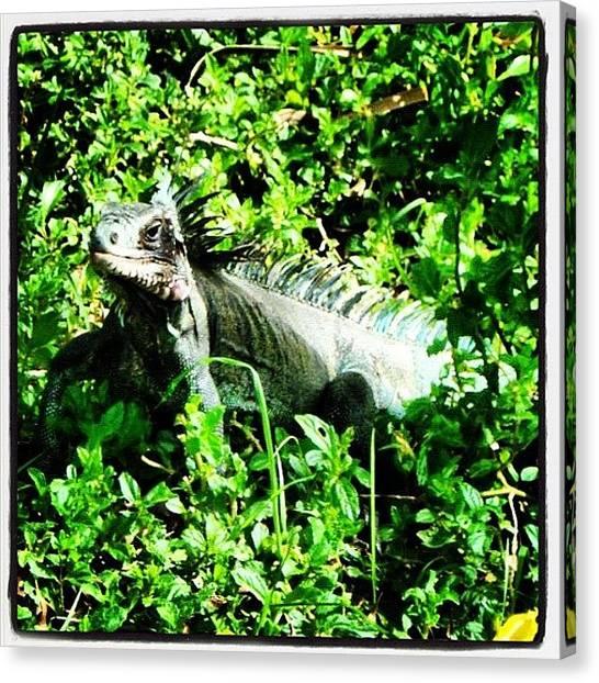 Iguanas Canvas Print - Iggy by Courtney Ross