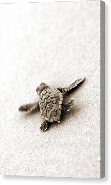 Turtles Canvas Print - Loggerhead by Michael Stothard