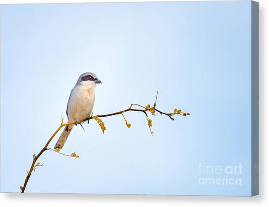 Loggerhead Shrike Canvas Print by Emily Bristor