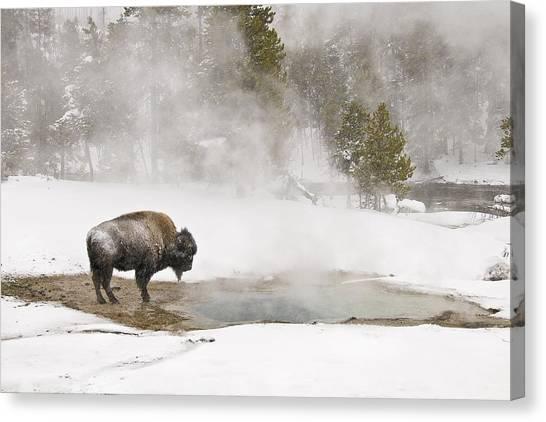 Bison Keeping Warm Canvas Print