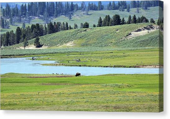 Lone Bison Out On The Prairie Canvas Print