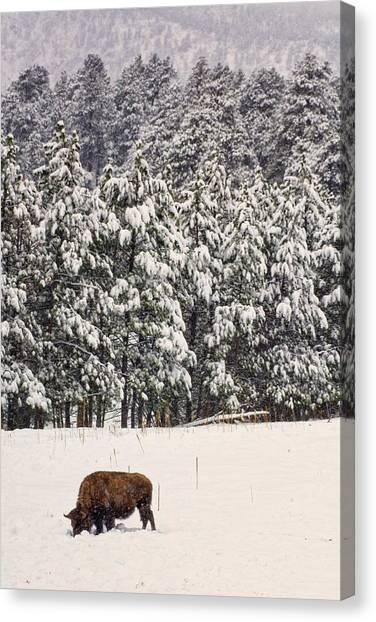 Lone Bison Canvas Print
