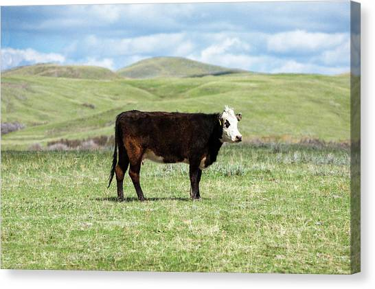 Angus Steer Canvas Print - Lone Black Angus Cow by Todd Klassy