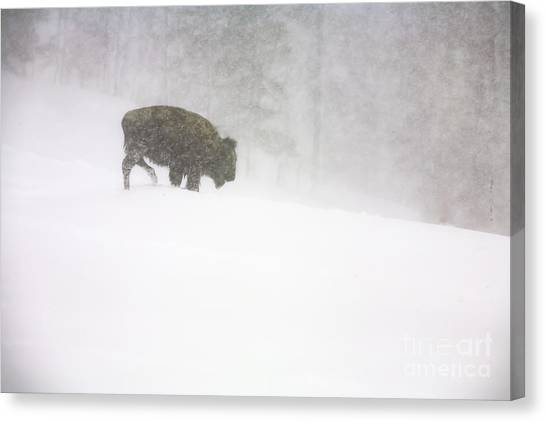 Lone Buffalo Bull In Winter Storm Canvas Print