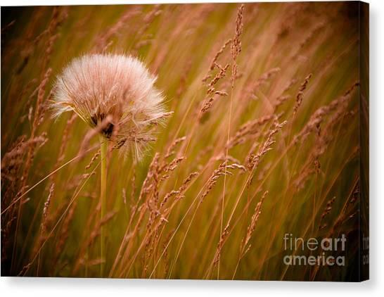 Social Canvas Print - Lone Dandelion by Bob Mintie