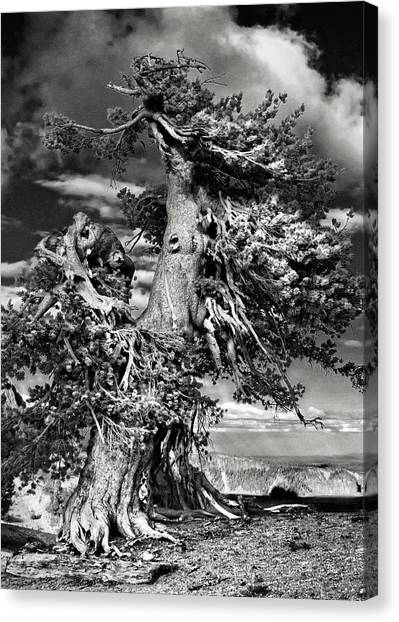 Lone Gnarled Old Bristlecone Pines At Crater Lake - Oregon Canvas Print