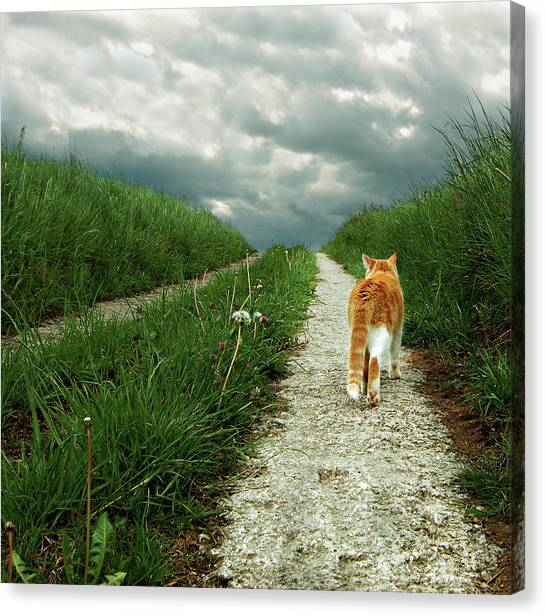 Lone Red And White Cat Walking Along Grassy Path Canvas Print by © Axel Lauerer
