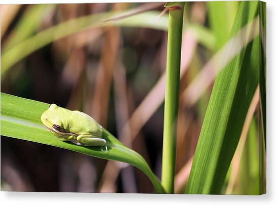 Lone Tree Frog Canvas Print