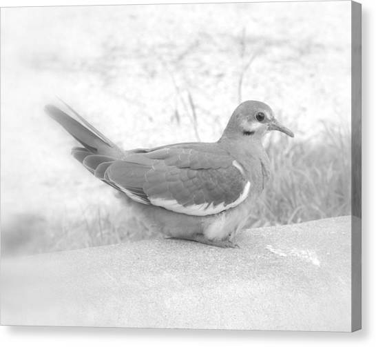 Lonely Dove Canvas Print
