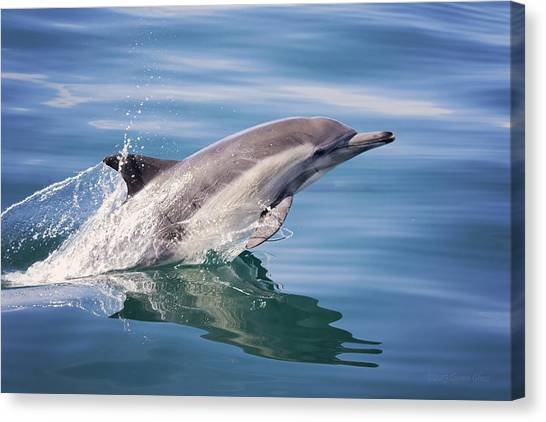 Long Beaked Common Dolphin Canvas Print