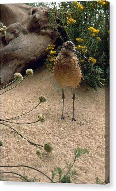 Long Billed Sandpiper Canvas Print