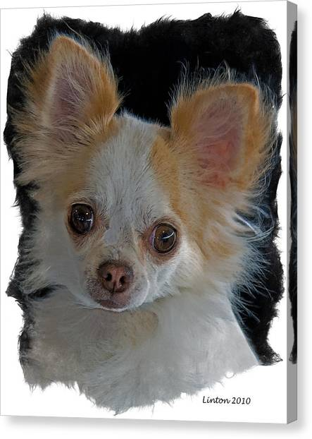 Long Coat Chihuahua Canvas Print by Larry Linton