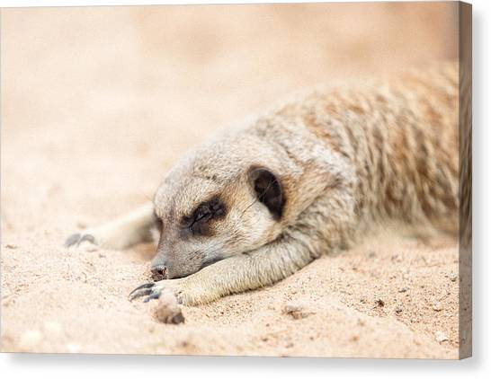 Long Day In Meerkat Village Canvas Print