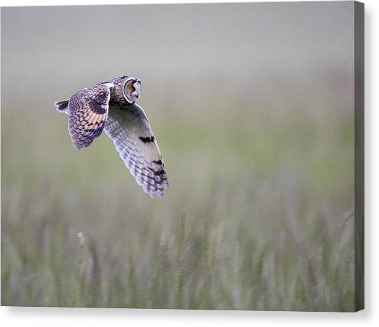 Long Eared Owl Hunting At Dusk Canvas Print
