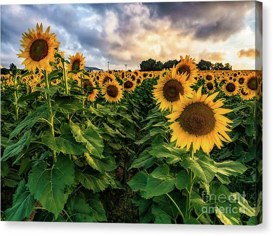 Long Island Sunflowers  Canvas Print