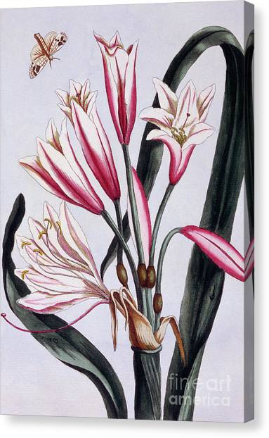 Amaryllis Canvas Print - Long Leaved Amaryllis by Pierre-Joseph Buchoz