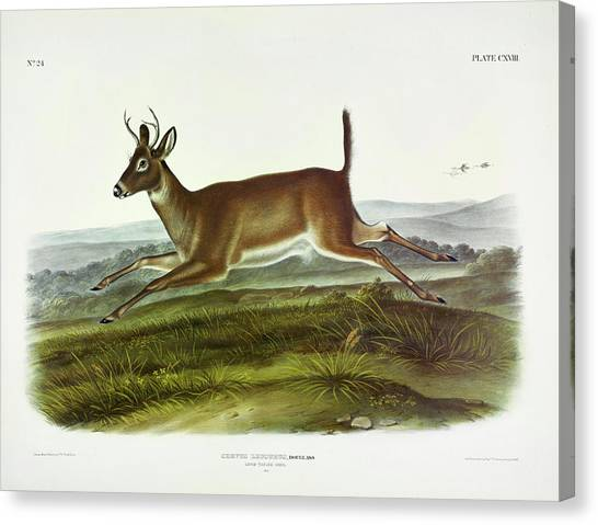 White-tailed Deer Canvas Print - Long-tailed Deer by John James Audubon