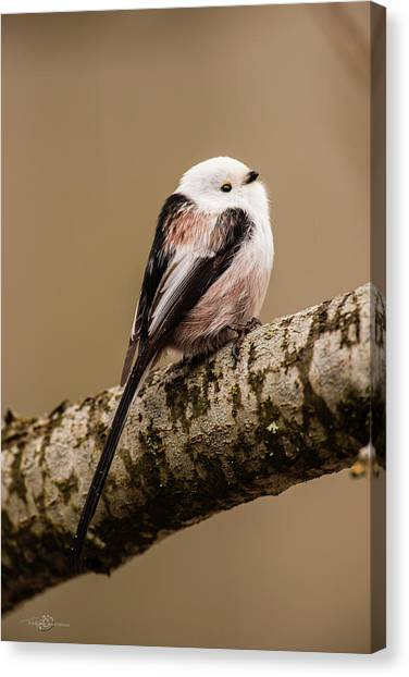 Long-tailed Tit On The Oak Branch Canvas Print