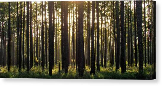 Longleaf Pine Forest Canvas Print