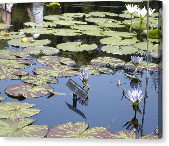 Longwood Lillies Canvas Print by Randy Ford