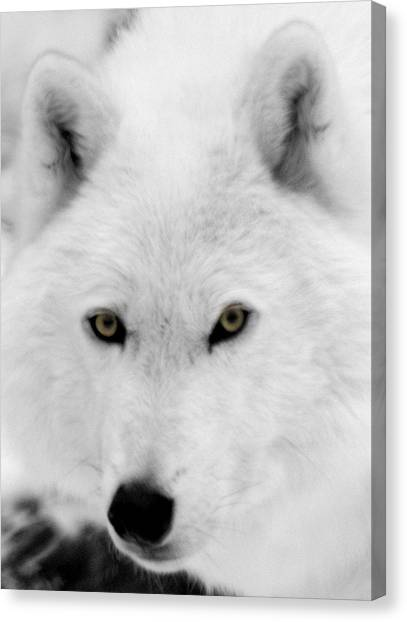 Arctic Wolf Canvas Print - Look Into My Eyes by Larry Ricker