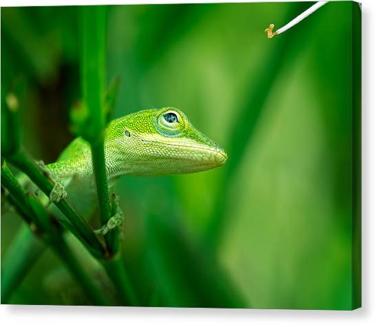 Look Up Lizard Canvas Print