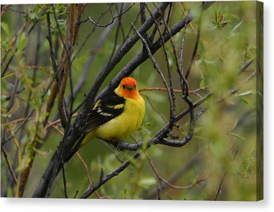 Looking At You - Western Tanager Canvas Print