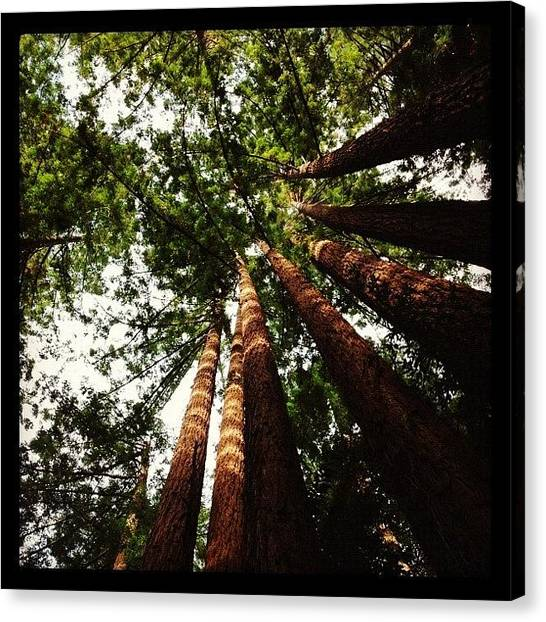 Redwood Forest Canvas Print - Looking Up by Amy Beam