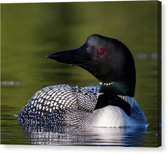 Loon Close Up Canvas Print