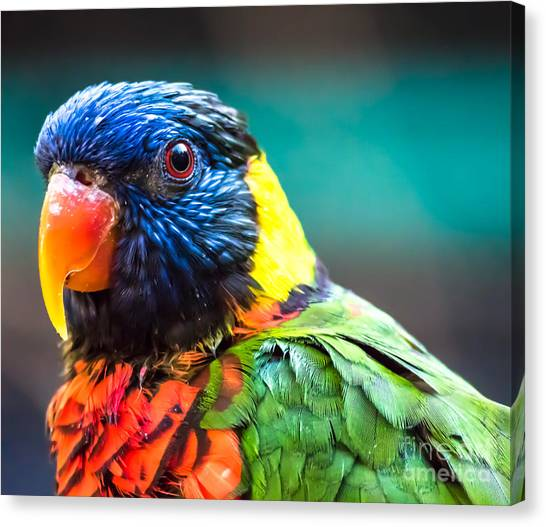 Lorikeet Glance Canvas Print