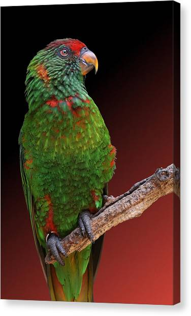 Lorikeet Portrait Canvas Print