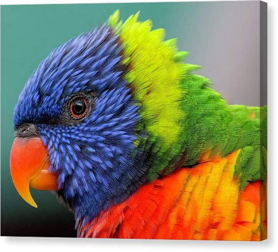Canvas Print featuring the photograph Lorikeet Portrait by Rand