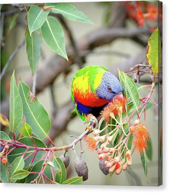 Australian Canvas Print - Lorikeet With Flowering by Margaret Goodwin