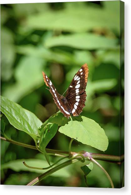 Lorquin's Admiral Butterfly Canvas Print