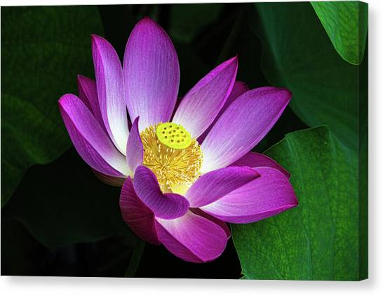 Red lotus flower canvas prints page 13 of 15 fine art america red lotus flower canvas print lotus blossom 2 with details by david werner mightylinksfo