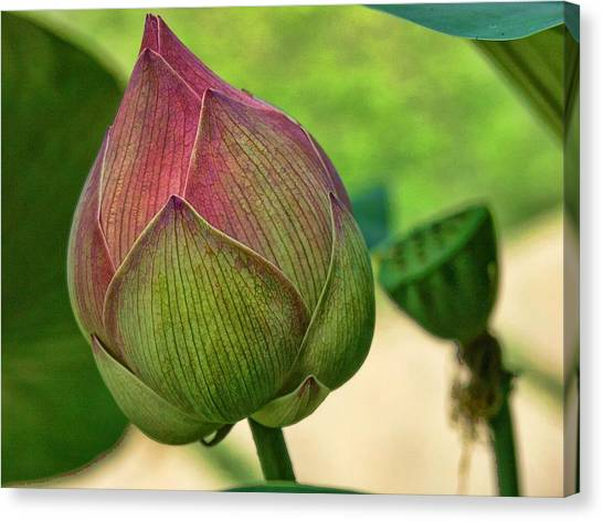Lotus Dreaming 3 Canvas Print