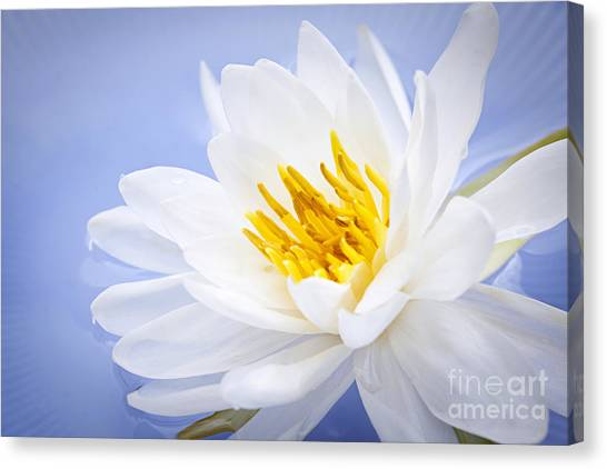 White Water Lilies Canvas Print - Lotus Flower by Elena Elisseeva